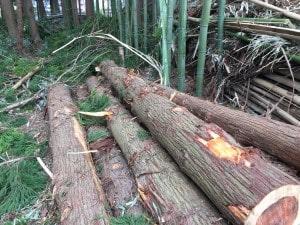 薪ストーブの伐採作業