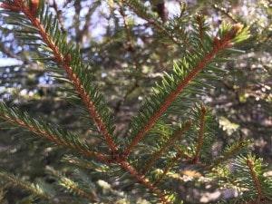 薪ストーブの針葉樹