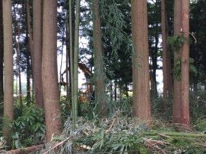 薪ストーブの薪伐採
